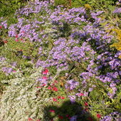Fall, Purple aster, Heath aster, Salvia greggii, Goldenrod.