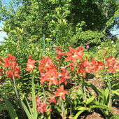 Hippeastrum sonatini balentin (amaryllis)
