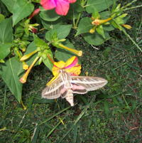 hummingbird moth on 4 O'clocks