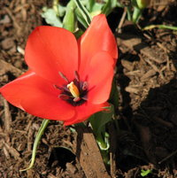 Tulip Division 15 - Miscellaneous batalinii Red Hunter