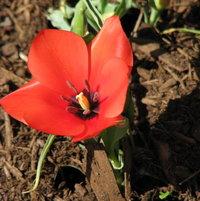Tulip Division 15 - Miscellaneous batalinii Red Hunter