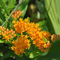 Asclepias tuberosa has bright orange flowers and is slow to emerge in the spring growing in the front garden