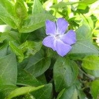 Creeping Perwinkle bloom