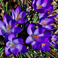 Spring Crocus 2013 (This one is from a small garden I planted at a friend's house nearby):