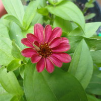 Zahara Zinnia ... only flower I had. Darn groundhog ate the plant!