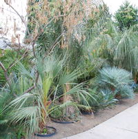 there is no lawn anymore... just dirt and palms (and lots of other stuff, too)