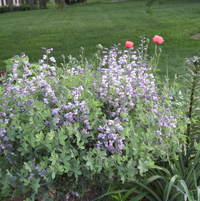 Baptisia Purple Smoke with lone poppy