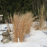 My clump of Little Bluestem grass looking good, though it does not have the orangish fall color anymore.