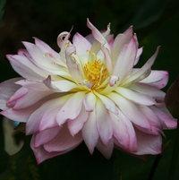 Lotus Bai Nushen