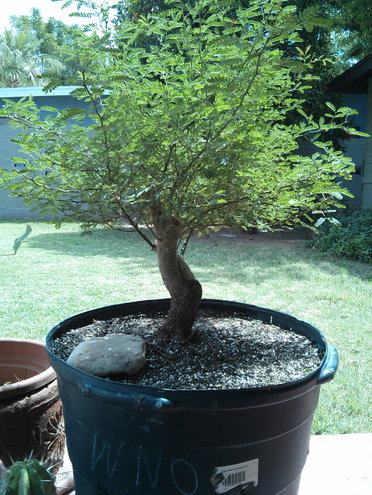 Mesquite Bonsai (in the making)