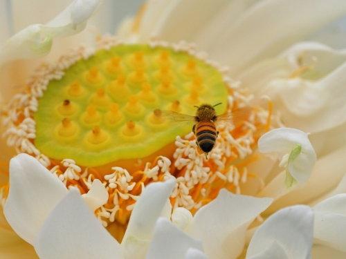 Lotus Nanda Devi