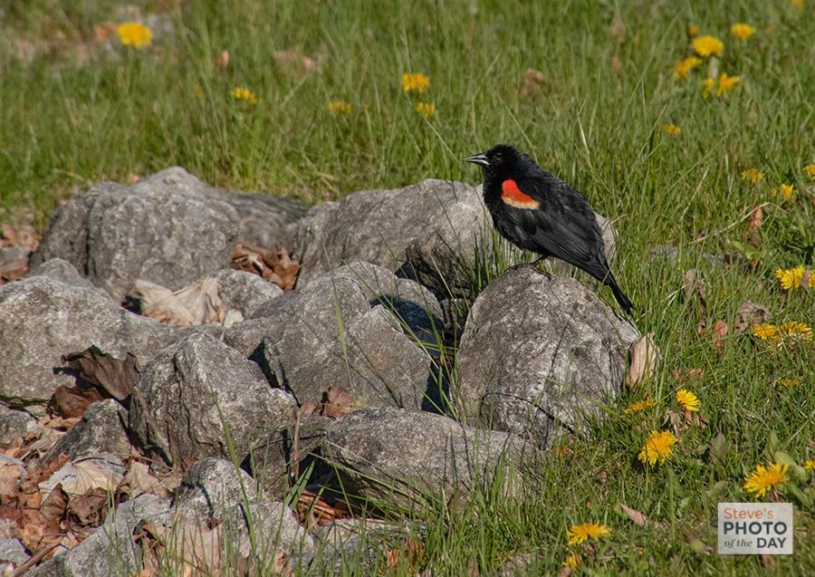 Red Wing Blackbird on Rock
