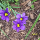 Gotta love Blue-Eyed Grass