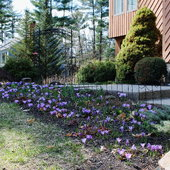 April 19, 2014 Crocus are in full bloom.