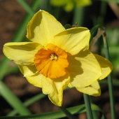 Narcissus Division 7 - Jonquilla  Kedron