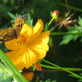 Visit of a Checkerspot ..
