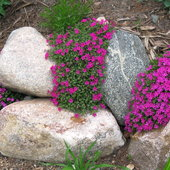 Crackerjack phlox douglassi: The color will grab your attention from miles away.