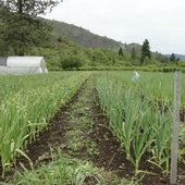 Garlic in May
