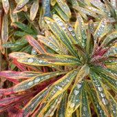 """Rain pearls"" on Euphorbia in January."