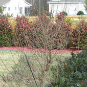 Crepe myrtle trimmed to six upright branches. Camelia in bloom.  View is across rear of house from back deck.