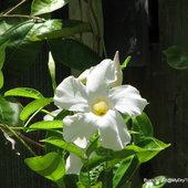 Mandevilla boliviensis hybrid 'White Fantasy'