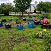 Half barrels arranged in a circle made up our sweet potato garden. The configuration allows for the free spreading of the vines. Leaves of the sweet potato vine are very nutritious, and we eat as many pounds of the leaves as we do our 200 pound sweet potato harvest.