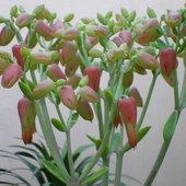 Bryophyllum flowers