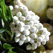 Rice Flower, Ozothamnus diosmifolius - Bouquet