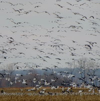 GEESE LANDING IN FIELD OF CORN STALKS
