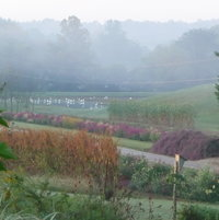 My Wetland Garden in distance  and My Hillside Garden in forefront.  Great Egrets in the wetland.  Foggy morn.