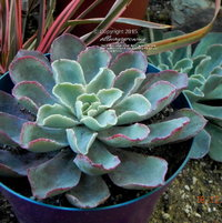 Echeveria fulgens ssp. fulgens has powdery blue leafs that flush red along the edges.