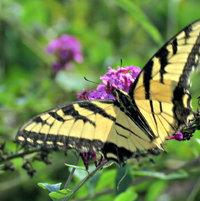 Eastern Tiger Swallowtail on Buddleja - lower wings damaged