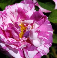 Gallica Rose 'Camaieux' bred by Gendron, France 1826