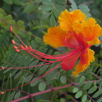 This is also known as The Bird of Paradise Flower.