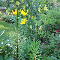 lilies and birdbath, front