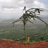 Not the best staking job I've seen for Acacia dreparalobium but looking down into the Great Rift Valley to see three countries at the same time made this one picture I'll always remember.