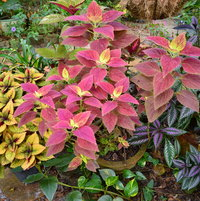 Colorful combo of Coleus and Persian Sheild and Croton.