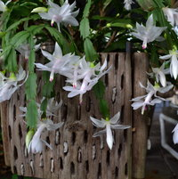 White Christmas Holiday Cactus, always the first to flower.