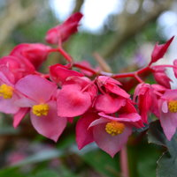 Close up of Angle Wing Begonia flowers