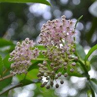 Swamp Milkweed, FL Native