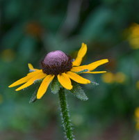 Rudbeckia hirta Florida Native
