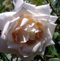 Hybrid Tea Rose 'La France' bred by Guillot, France 1867