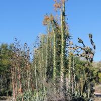 Fouquieria collumnaris colony (Boojum Trees)