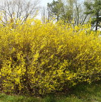 Forsythia, blooming, FINALLY!