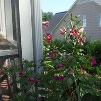 Lilies and four o'clocks