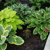 Hostas in Japanese Garden