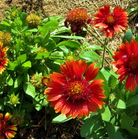Gaillardia, Arizona Red.