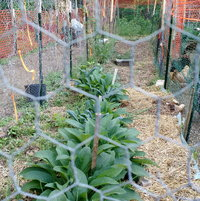 Comfrey growing protected from chickens