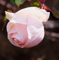 Heritage Rose 'Jean Ducher' 1874