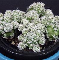 Mammillaria vetula gracilis fragilis (Thimble cactus) - 2017-03-26 07